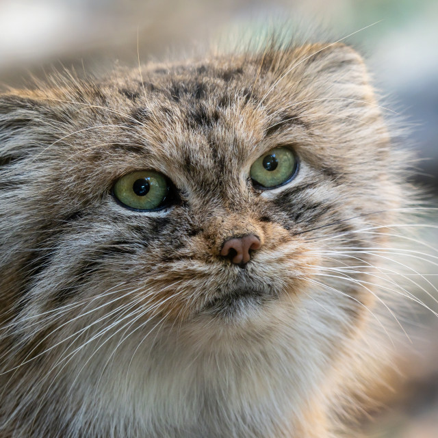 """Manul or Pallas's cat, Otocolobus manul, cute wild cat from Asia"" stock image"