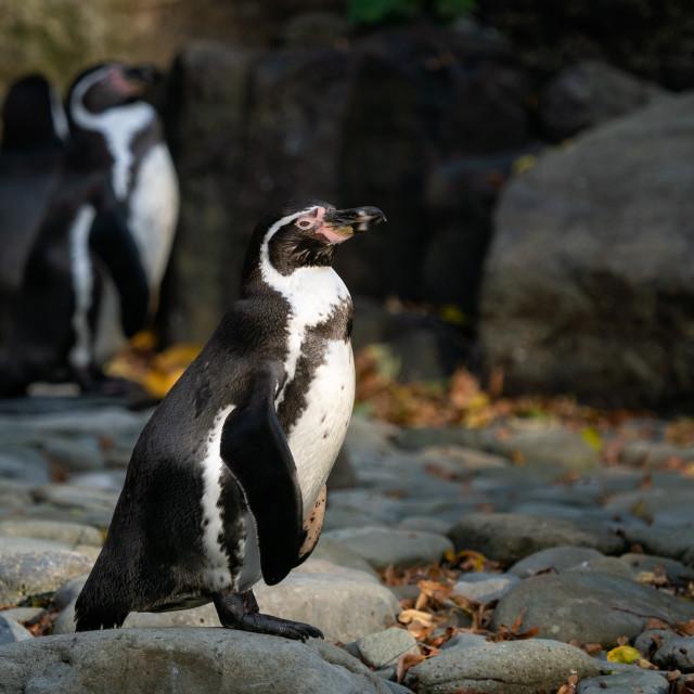 """Humboldt penguin (Spheniscus humboldti) standing on rocks"" stock image"