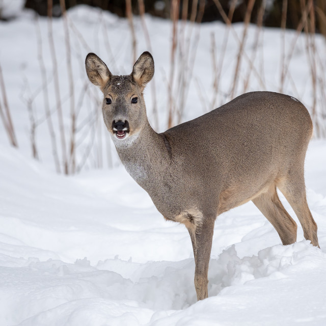 """Wild roe deer in winter nature. Capreolus capreolus."" stock image"