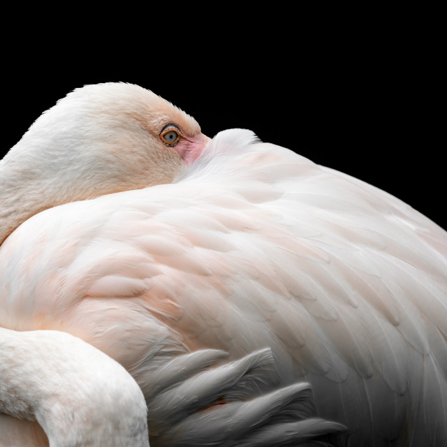 """Pink flamingo (Phoenicopterus roseus) against black background"" stock image"
