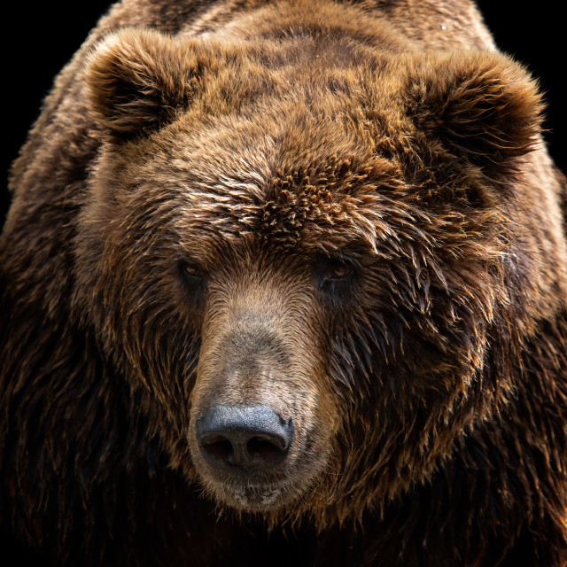 """Front view of brown bear isolated on black background. Portrait"" stock image"