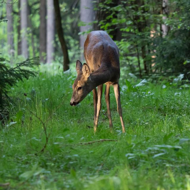 """""""Roe deer in forest, Capreolus capreolus. Wild roe deer in nature"""" stock image"""