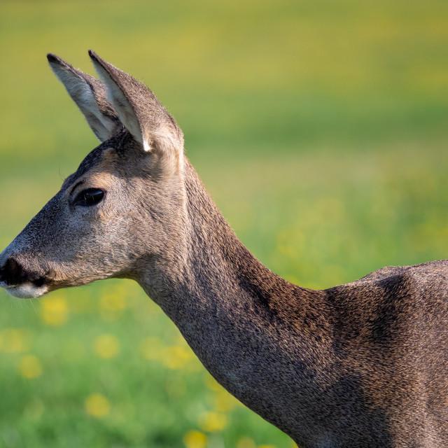 """""""Roe deer, Capreolus capreolus. Wild roe deer in nature."""" stock image"""