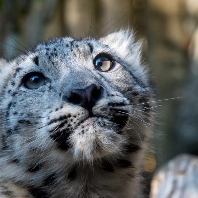 """""""Kitten of snow leopard - Irbis (Panthera uncia)"""" stock image"""