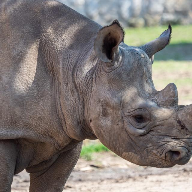 """Young eastern black rhinoceros, (Diceros bicornis michaeli)"" stock image"