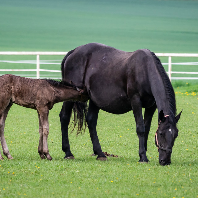 """Black kladrubian horse, mare with foal"" stock image"