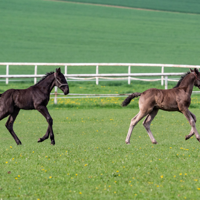"""Foals run in the meadow. Black kladrubian horse."" stock image"