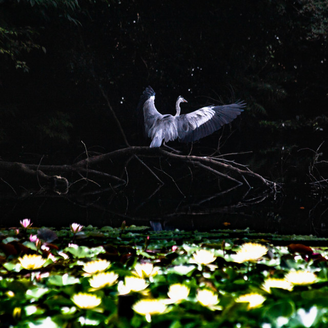 """Gray Heron Landing over Lotus Flowers in Japan"" stock image"