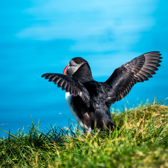 """Puffin - Atlantic puffin - Fratercula arctica"" stock image"