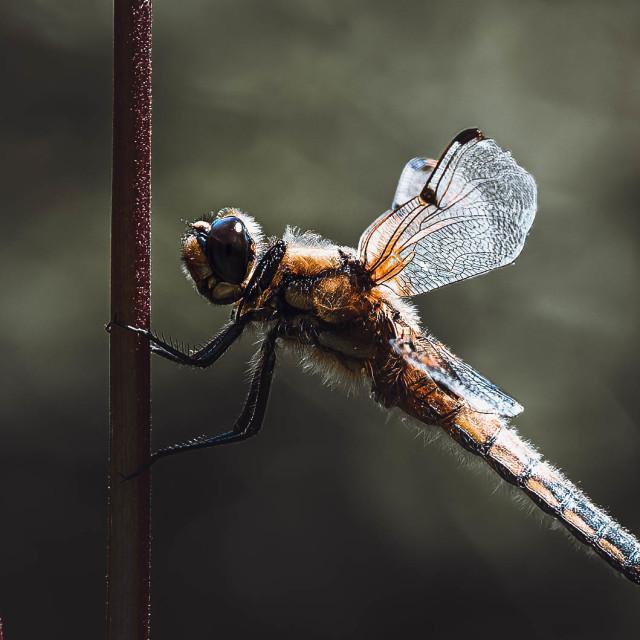 """""""Dragonfly at Dusk, Cambridge UK."""" stock image"""