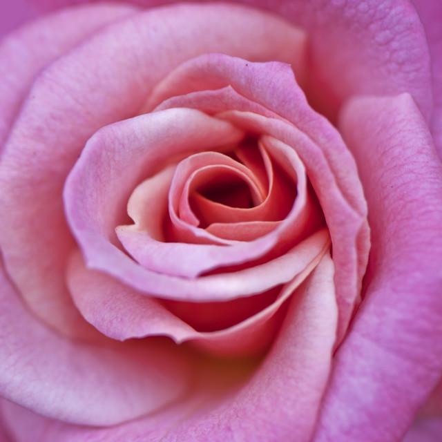 """Pink Fantasy"" stock image"