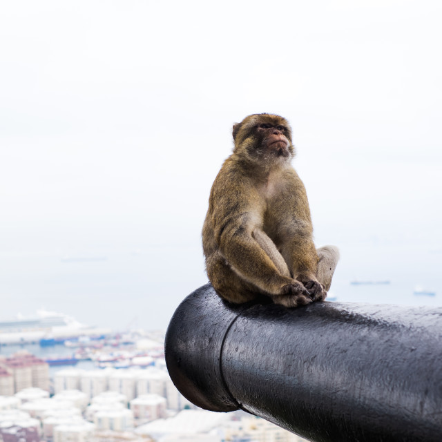 """""""Barbary Macaque"""" stock image"""