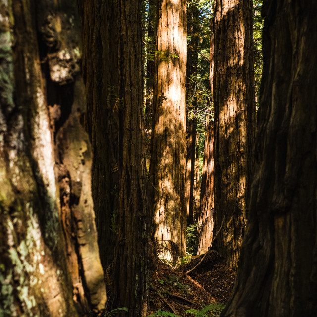 """""""Muir Woods National Monument"""" stock image"""