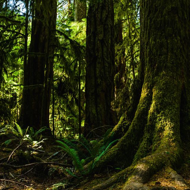 """Giant Douglas Fir Trees"" stock image"