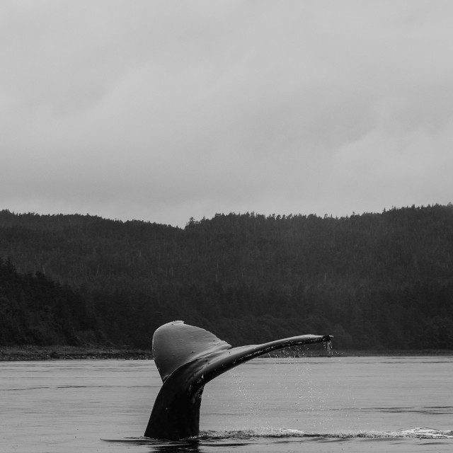 """""""Humpback Whale Tail"""" stock image"""