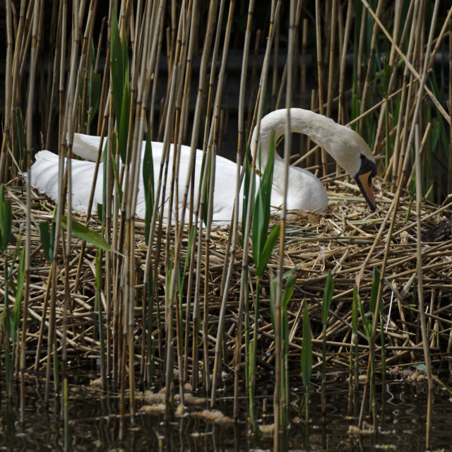 """""""Mute Swan on Reed Nest"""" stock image"""