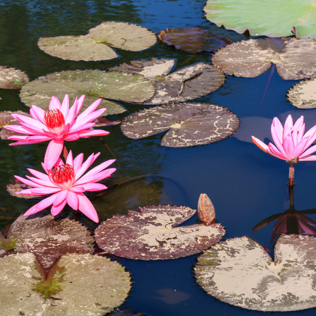 """""""Water liies and lily pads"""" stock image"""