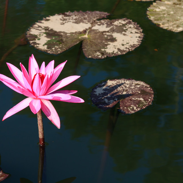 """""""Water lily and lily pads"""" stock image"""