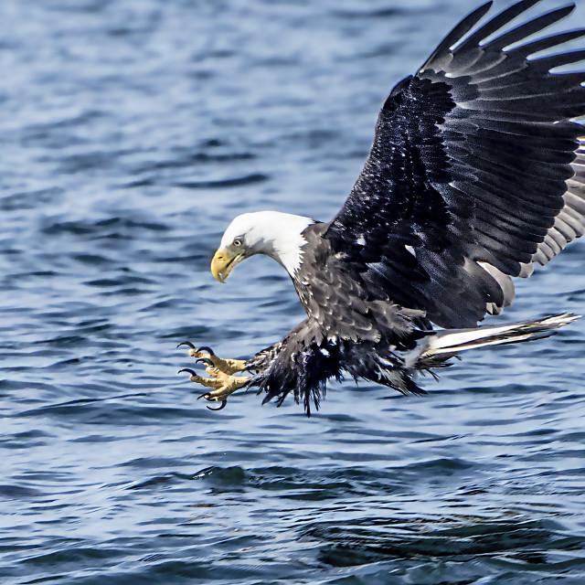 """""""Striking Eagle"""" stock image"""