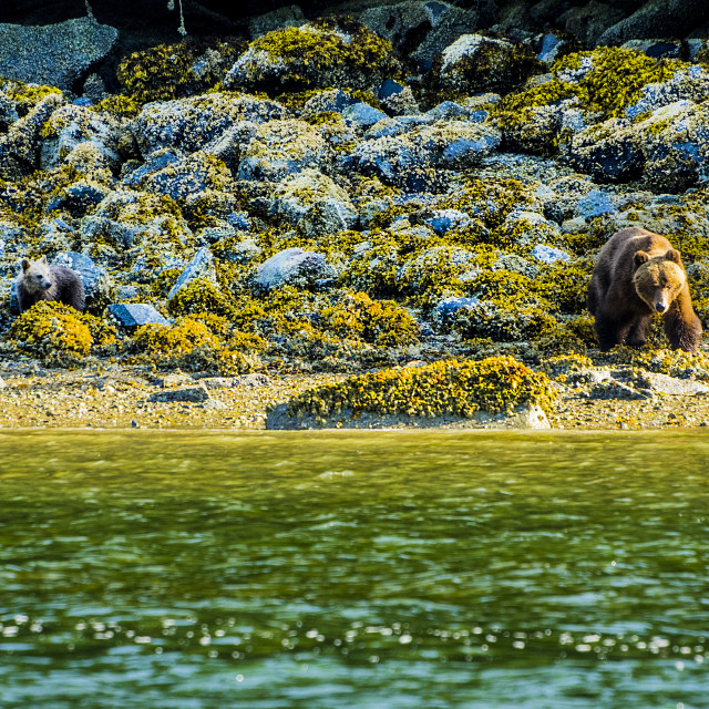 """""""Mother Grizzly With Cubs"""" stock image"""