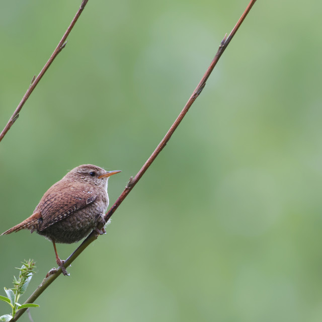 """""""Wren on a twig"""" stock image"""