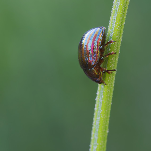 """Rosemary Beetle on Lavender Stem"" stock image"