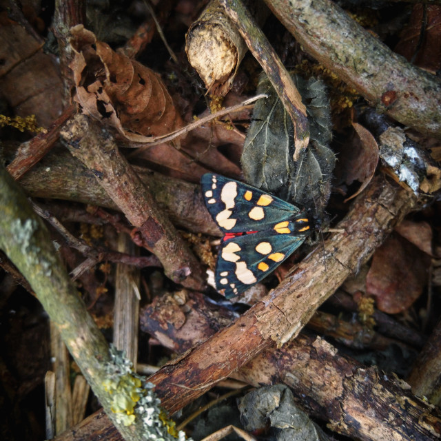 """Scarlet Tiger Moth"" stock image"
