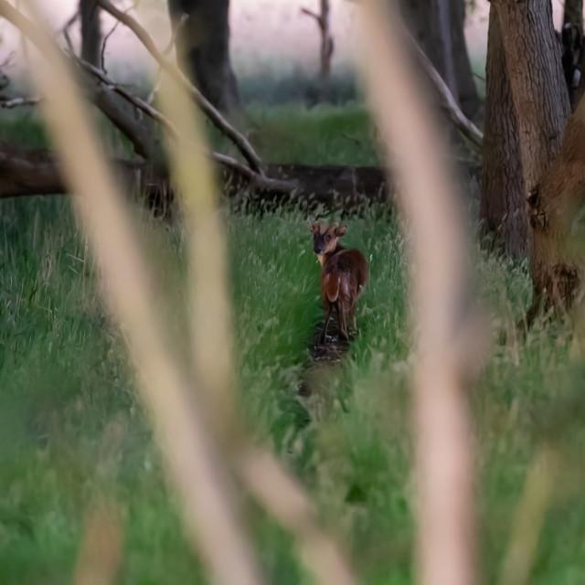 """Muntjack deer on woodland path i"" stock image"