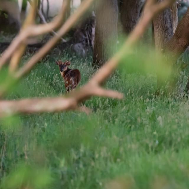 """Muntjack deer on woodland path ii"" stock image"