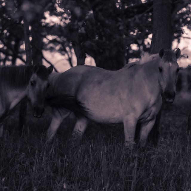 """Ponies in woodland mono shot iii"" stock image"