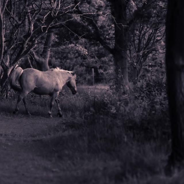 """""""Pony on woodland path mono shot"""" stock image"""