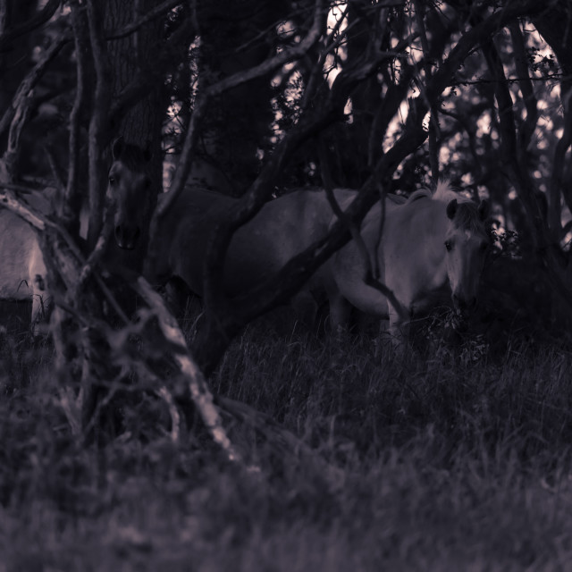 """Ponies in woodland mono shot ii"" stock image"