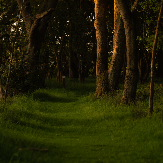 """""""Grassy woodland path with sidelit trees"""" stock image"""