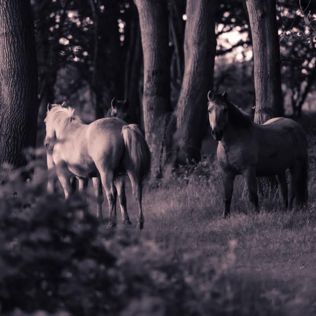 """Ponies in woodland mono shot i"" stock image"