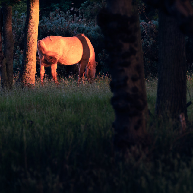 """Sunlit pony in dark woodland i"" stock image"