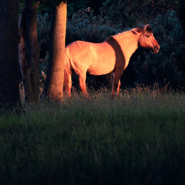 """Sunlit pony in dark woodland ii"" stock image"
