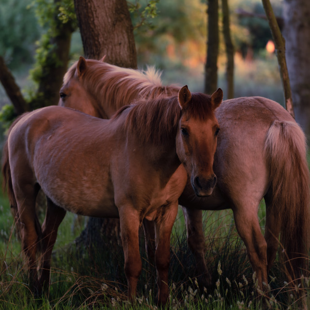 """Two ponies in mutual grooming position in woodland i"" stock image"