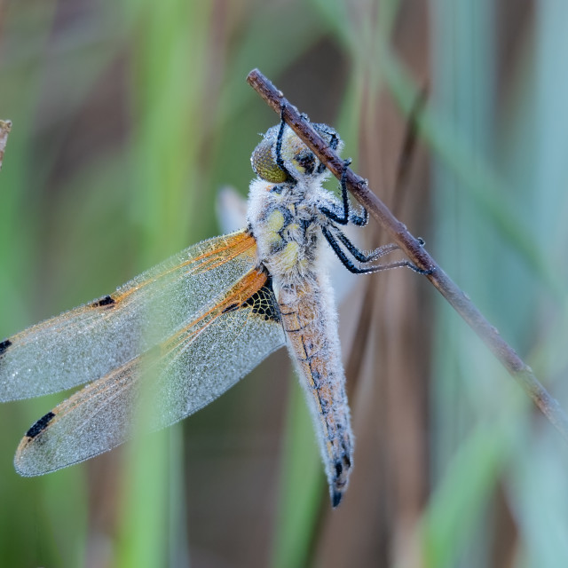 """Libellula quadrimaculata - Dew covered roosting Four Spotted Cha"" stock image"