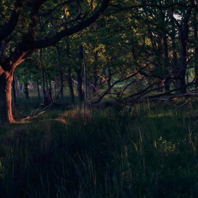 """Sidelit woodland with fallen tree"" stock image"