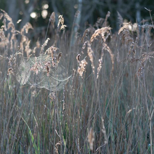 """Libellula quadrimaculata - Sunlit cobweb in reeds"" stock image"