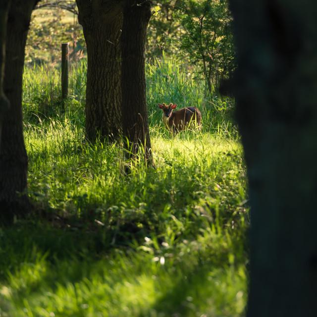 """Muntjack deer in sunny woodland"" stock image"