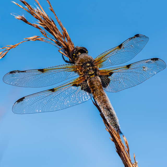 """""""Libellula quadrimaculata - Dew covered Four Spotted Chaser drago"""" stock image"""