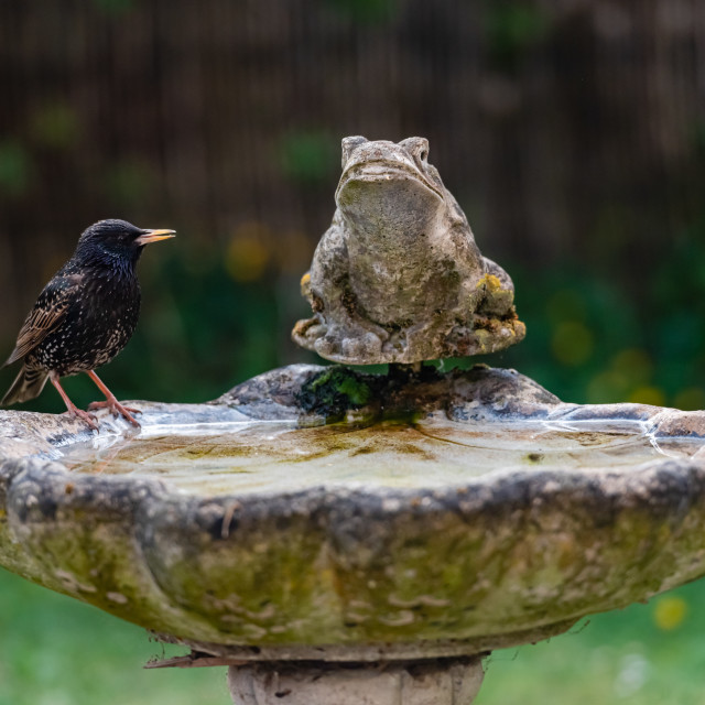 """Starling on birdbath ii"" stock image"