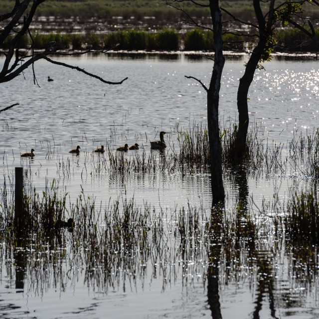 """""""Anser anser - Greylag geese family on water v with dead trees"""" stock image"""