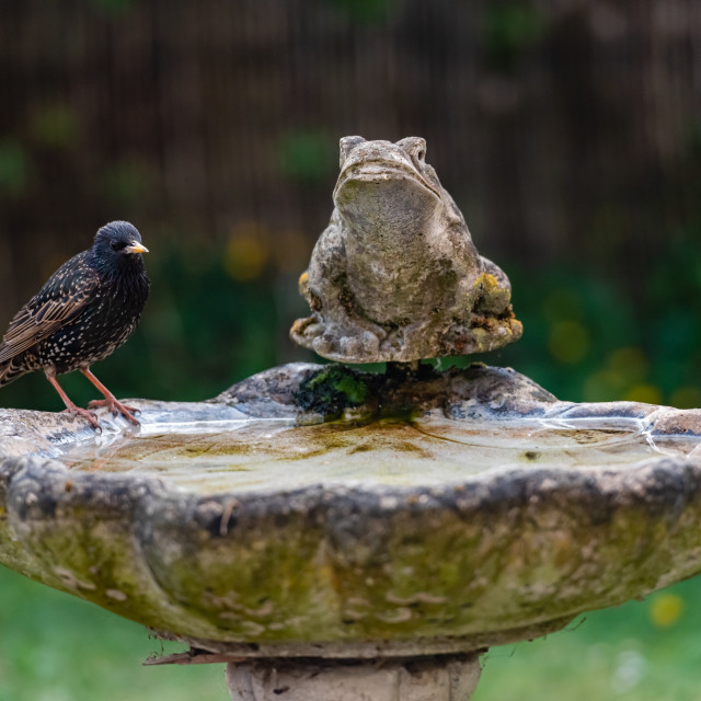 """Starling on birdbath i"" stock image"