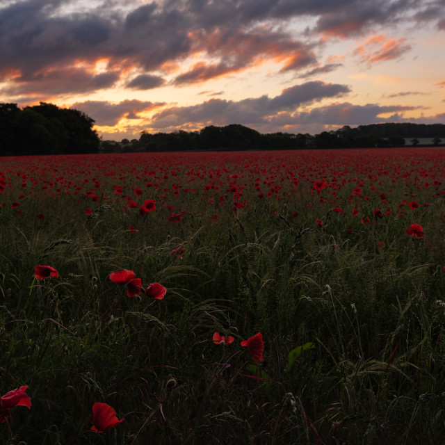 """Moody pre sunrise sky over Nordfolk poppy field"" stock image"
