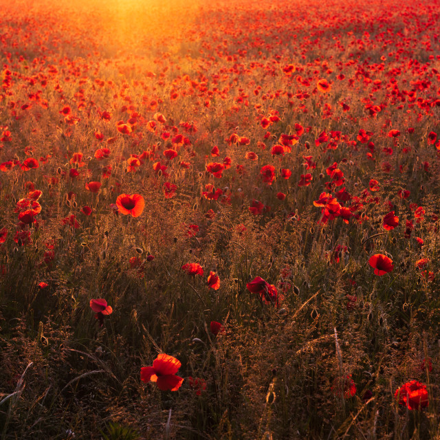 """Backlit Norfolk poppy field bathed in golden light"" stock image"
