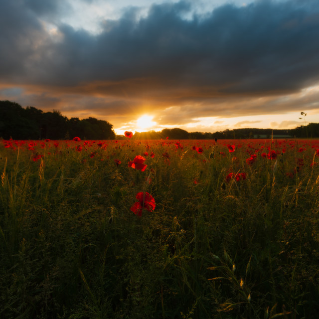 """Backlit moody sunrise over Norfolk poppy field iii"" stock image"