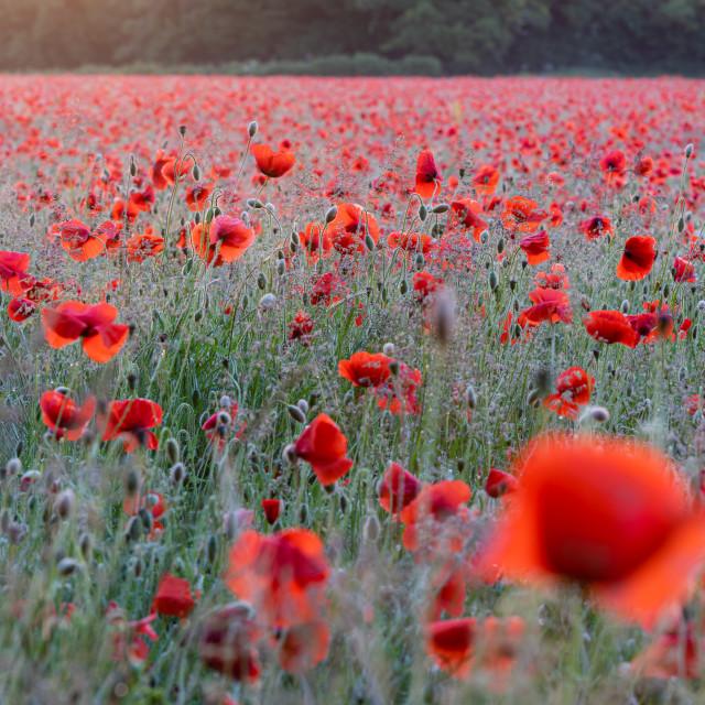 """Backlit Norfolk poppy field"" stock image"