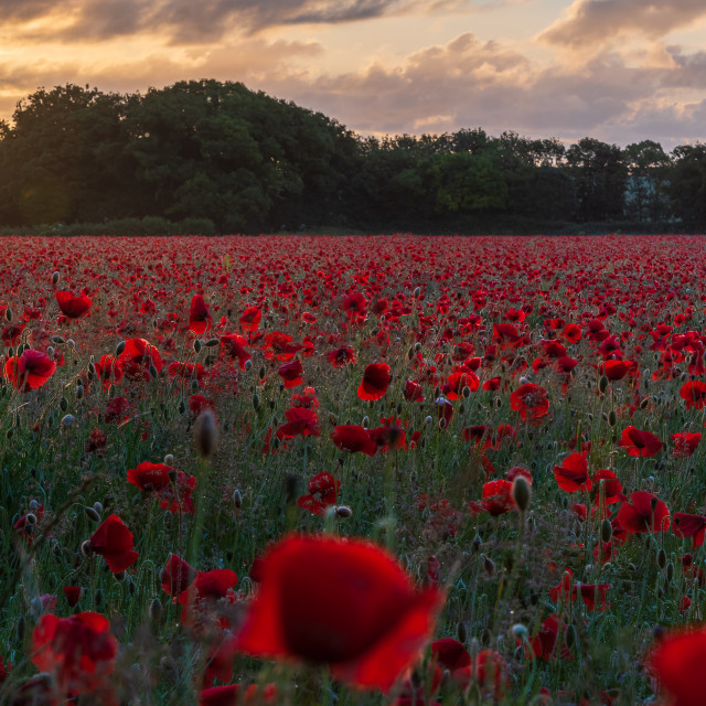 """Backlit moody sunrise over Norfolk poppy field ii"" stock image"